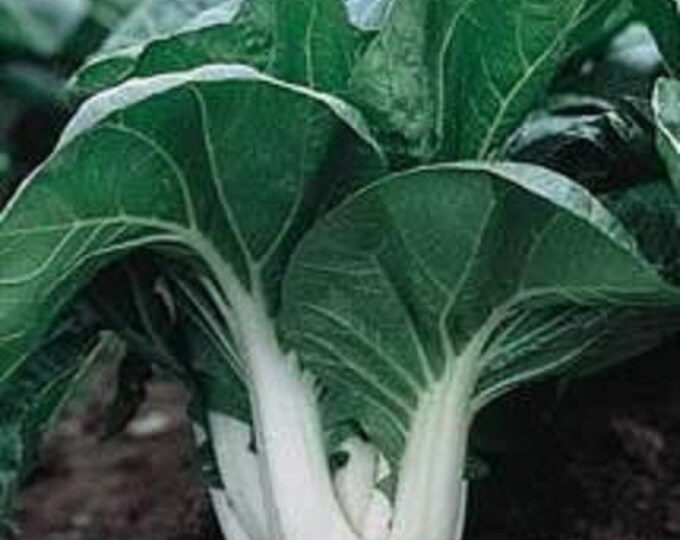 2000 CANTON PAK CHOI (Bok Choy / Chinese Cabbage) Brassica Rapa Chinensis Vegetable Seeds