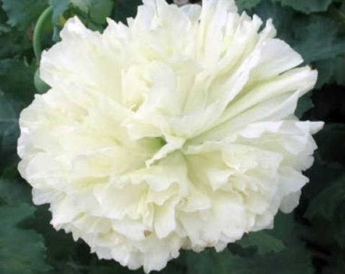 250 WHITE Cloud PEONY POPPY Papaver Peoniflorum Flower Seeds