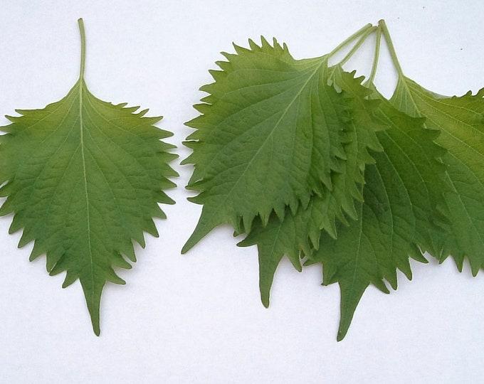 300 GREEN SHISO aka PERILLA Frutescens Ornamental Herb Seeds Green & Purple