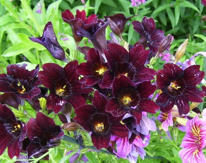 25 Chilean BLACK PAINTED TONGUE Salpiglossis Sinuata Paisley Flower Seeds