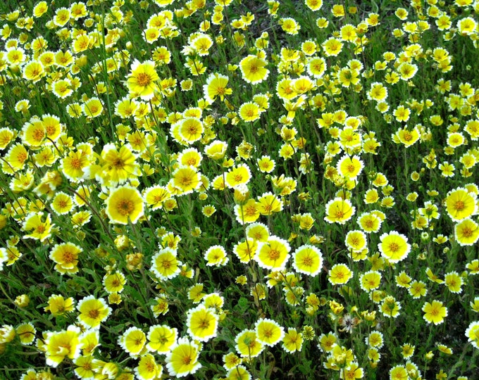 500 TIDY TIPS Layia Platyglossa Flower Seeds