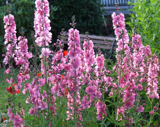 50 PINK CHECKERMALLOW Sidalcea Hendersonii Henderson's Checkerbloom Flower Seeds
