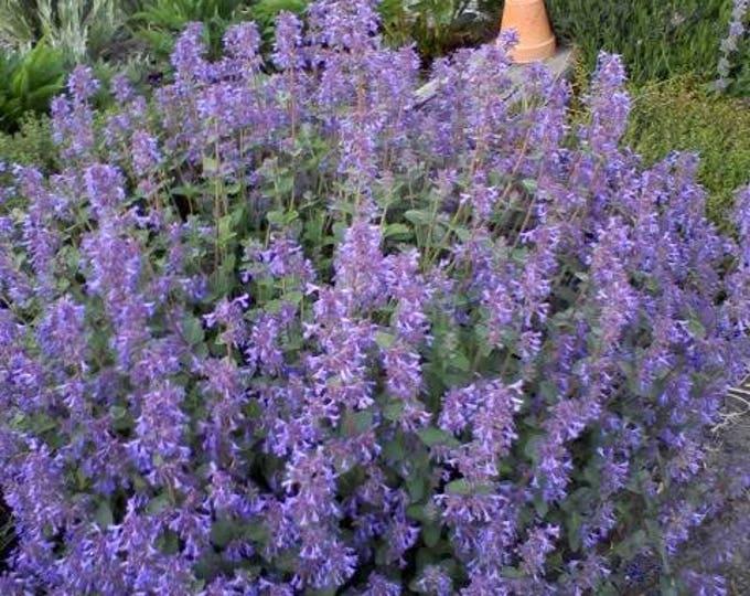 50 Blue CATMINT Nepeta Mussinii HERB Flower Seeds