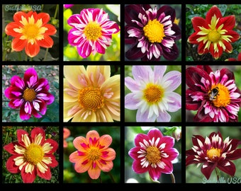 50 MIXED COLLARETTE DAHLIA Variabilis Two Tone Mix of Red Pink Purple White Yellow Maroon Peach Flower Seeds