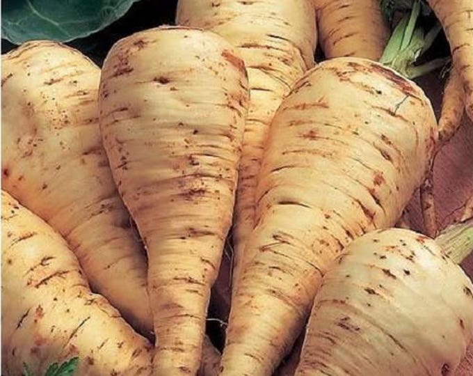 1000 PARSNIP Improved HOLLOW CROWN Pastinaca Sativa White Root Vegetable Seeds *Flat Shipping