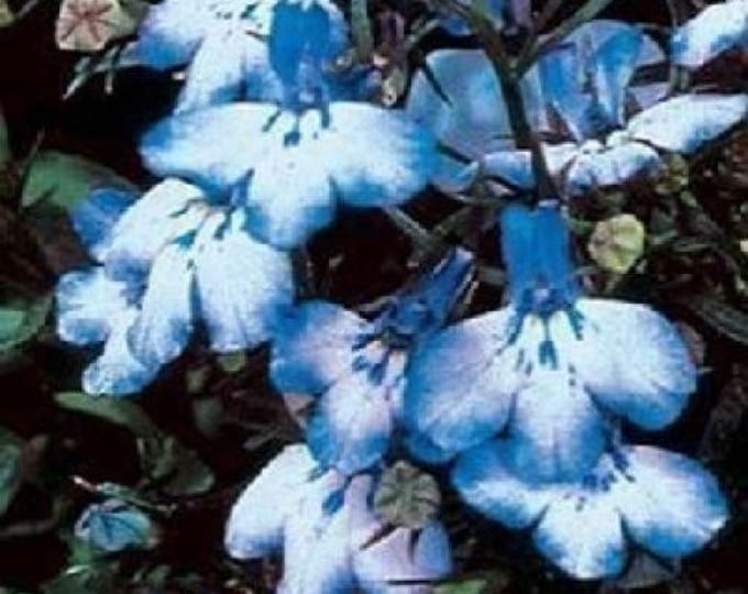 200 BLUE SPLASH LOBELIA Regatta Blue & White Erinus Flower Seeds *Comb S/H