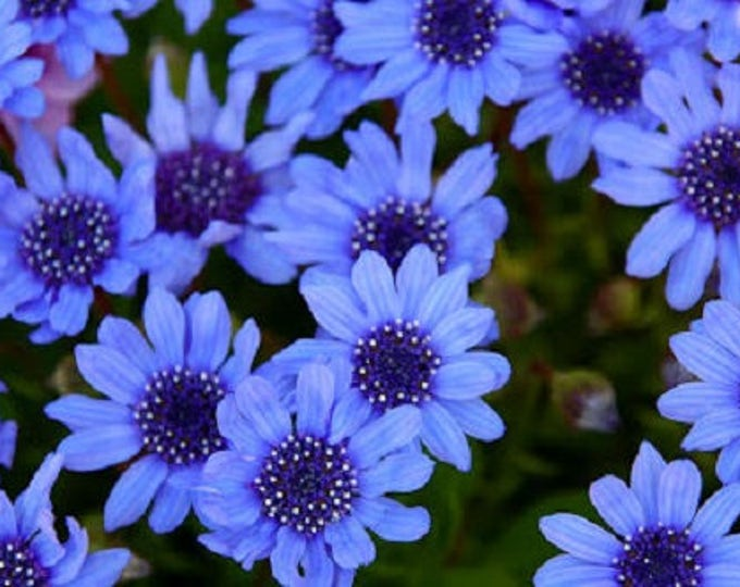 50 BLUE FELICIA DAISY 'The Blues' Heterophlla Kingfisher Flower Seeds *Comb S/H