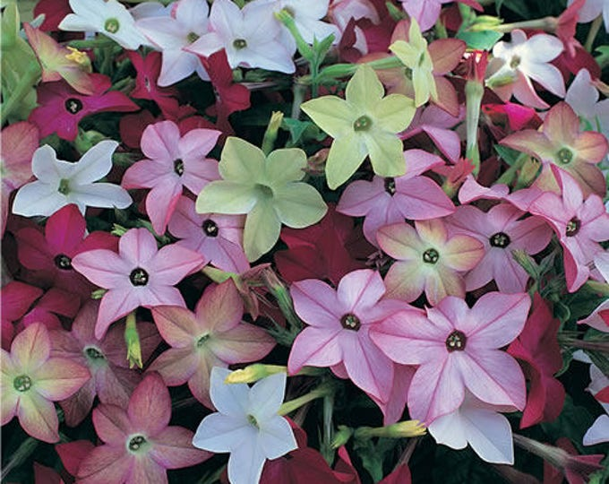 100 Heirloom MIXED COLORS NICOTIANA (Ornamental Flowering Tobacco) Nicotiana Alata Flower Seeds