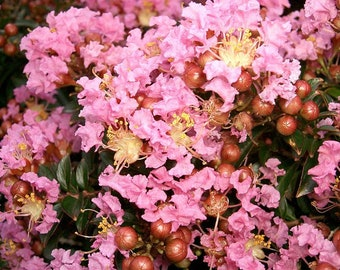 35 Light PINK CREPE MYRTLE Crape Tree Shrub Lagerstroemia Flower Seeds *Comb S/H