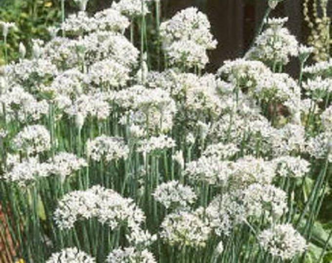 250 GARLIC CHIVE Allium Tuberosum Vegetable Seeds