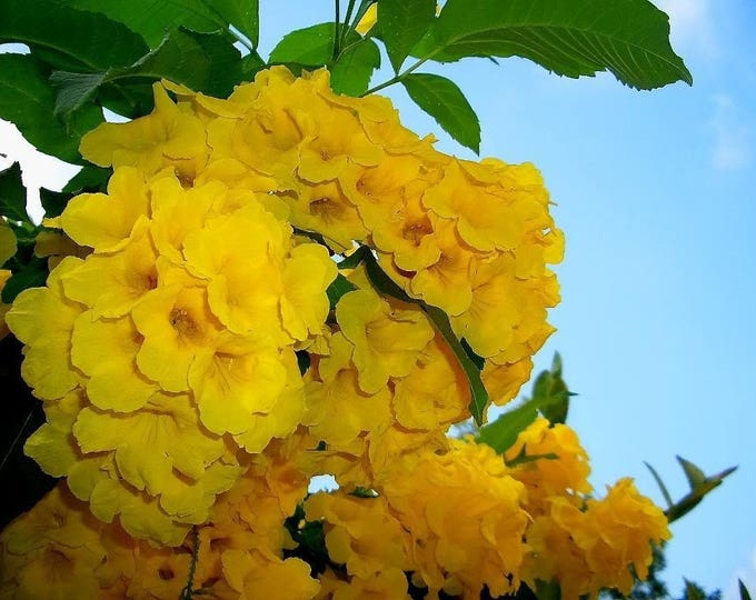 10 TECOMA STANS (Yellow Trumpetbush / Yellow Bells / Yellow Elder / Esperanza) Flower Shrub Bush Seeds