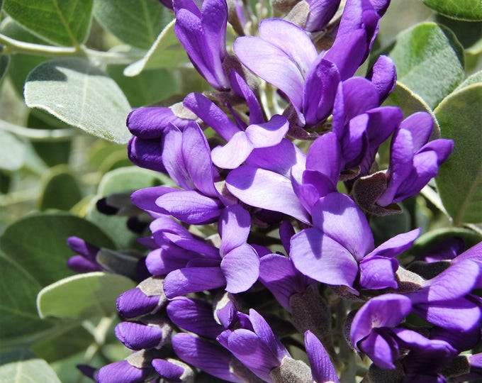 10 TEXAS Mountain LAUREL Sophora Secundiflora Mescal Tree Purple Flower Seeds