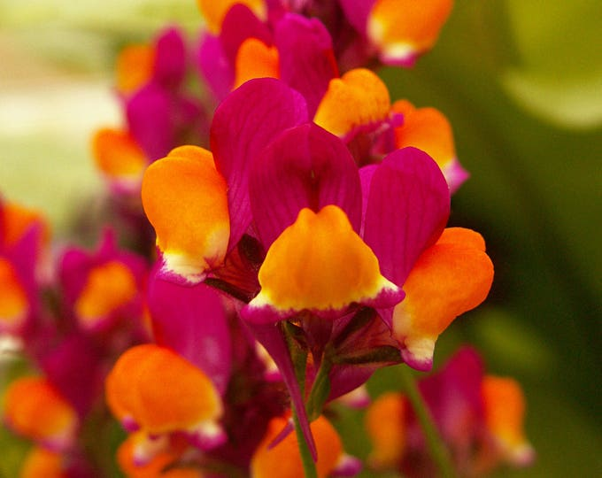 500 FLAMENCO LINARIA Reticulata Scarlet Red & Yellow Flower Seeds