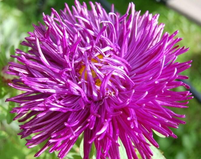 30 VIOLET Purple NEEDLE ASTER Callistephus Unicom Flower Seeds *Flat Shipping