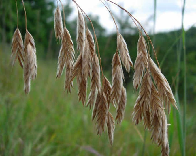 100 PRAIRIE BROME Arctic Brome Ornamental Grass Bromus Kalmii Seeds