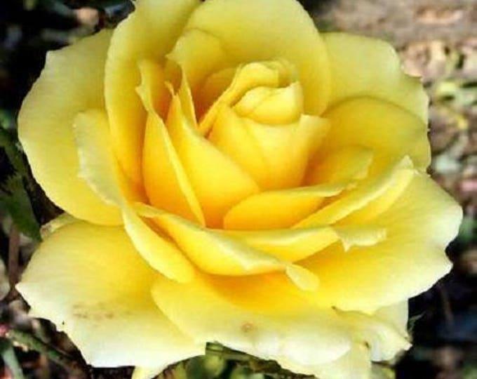 5 YELLOW ROSE Rosa Bush Shrub Perennial Flower Seeds *Flat Shipping