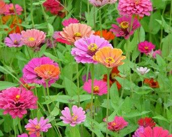 200 Mixed Colors ZINNIA POMPON Zinnia Elegans Flower Seeds