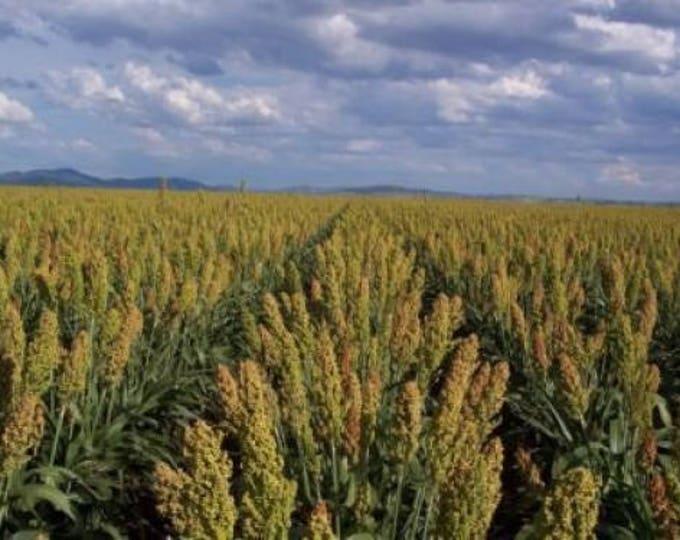 50 MENNONITE SORGHUM Sugar Cane Sorghum Bicolor Grain Vegetable Seeds