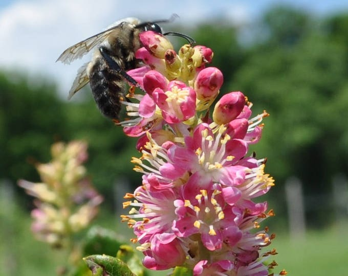 20 Pink SUMMERSWEET BUSH Clethra Alnifolia Rosea Fragrant Flower Shrub Seeds