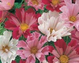 200 COSMOS SEASHELLS Cosmos Bipinnatus Sea Shells Flower Seeds