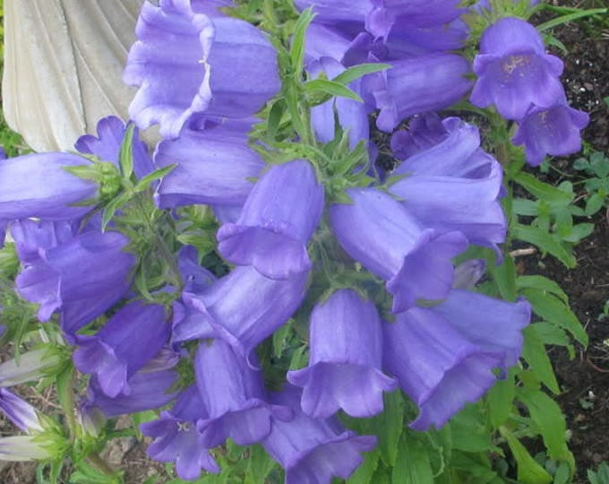 200 Blue CANTERBURY BELLS - CAMPANULA Medium Flower Seeds *Flat Shipping