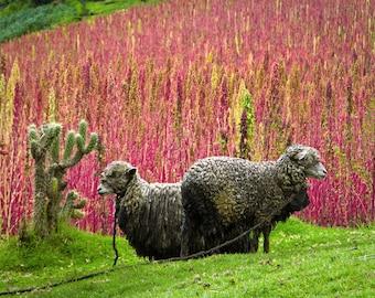 100 Organic RED HEAD QUINOA Grain Chenopodium Quinoa Pink & Red Heads - White Seeds