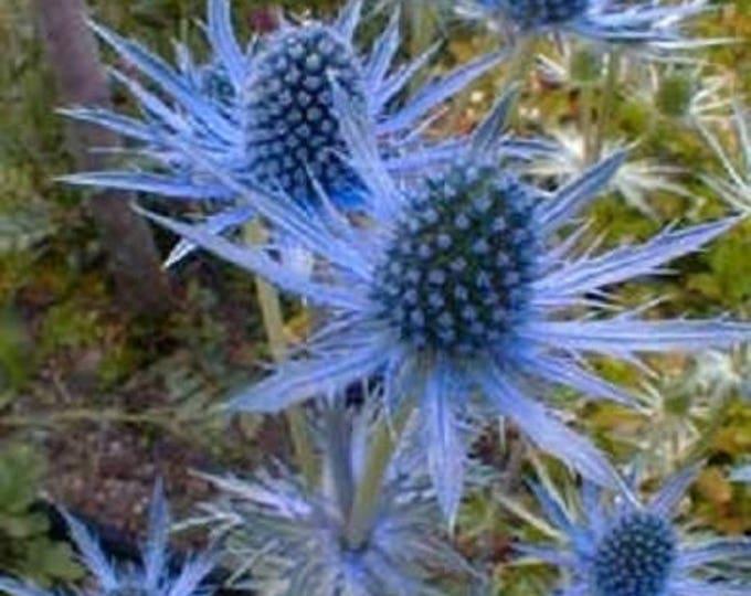 25 BLUE Star SEA HOLLY Eryngium Flower Seeds *Comb S/H