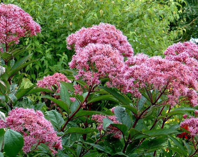 50 Pink JOE PYE WEED Eupatorium Maculatum Flower Seeds