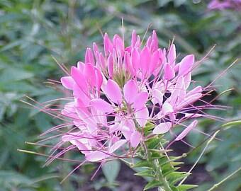 200 ROSE QUEEN CLEOME (Spider Flower) Cleome Hasslerana Flower Seeds