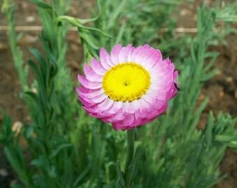 100 MIXED DOUBLE ACROCLINIUM aka Paper Daisy Helipterum Roseum Flower Seeds