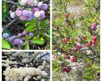 5 BEACH PLUM Prunus Maritima Native Edible Fruit Shrub Bush White Flower Seeds