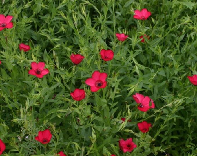 500 Red SCARLET FLAX Linum Grandiflorum Rubrum Flower Seeds