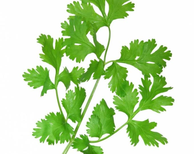 100 FIESTA Green CILANTRO / CORIANDER Coriandrum Sativum Herb Vegetable Seeds