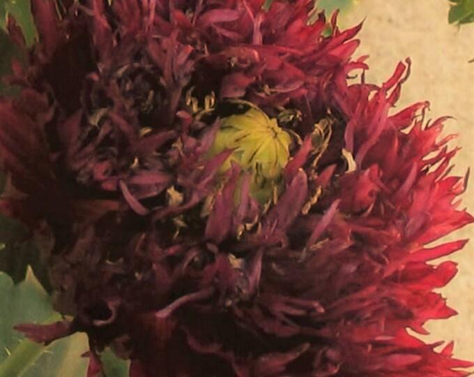 250 BLACK Swan PEONY POPPY Papaver Somniferum Dark Burgundy Double Flower Seeds