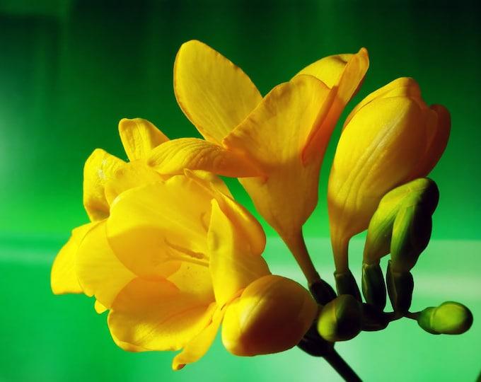 5 YELLOW FREESIA Royal Champion Flower Seeds Fragrant