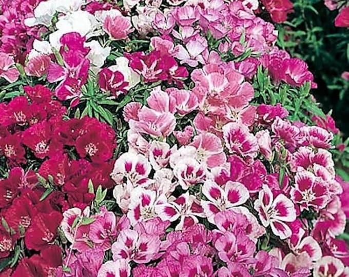 500 DOUBLE DEUCES GODETIA Grandiflora Clarkia Amoena Mixed Colors & Bicolor Flower Seeds