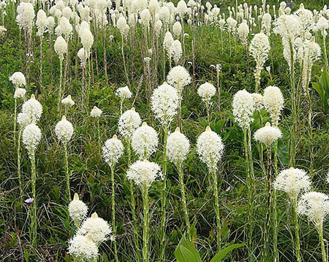 100 BEAR GRASS aka Bear LILY Beargrass Ornamental Xerophyllum Tenax Flower Seeds