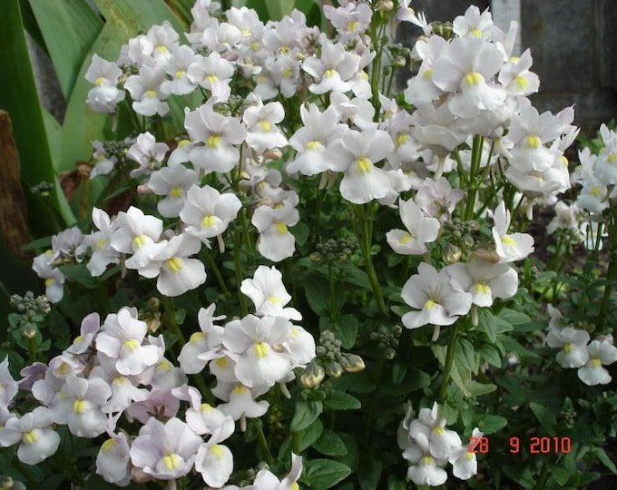 50 WHITE KNIGHT NEMESIA Strumosa Flower Seeds *Combined S/H