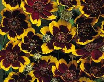 30 COSMIDIUM BRUNETTE Burridgeanum Greenthread Flower Seeds *Flat Shipping