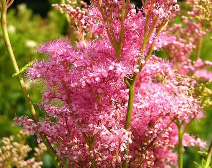 40 QUEEN Of THE PRAIRIE Pink Meadowsweet Filipendula Rubra Flower Seeds