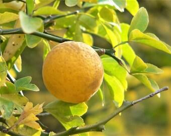 5 HARDY ORANGE TREE Trifoliate Citrus Trifoliata Poncirus Fruit White Flower Seeds