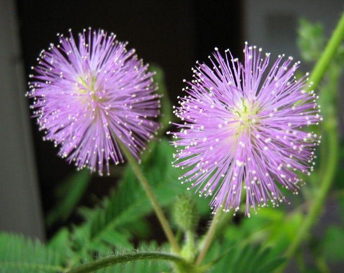100 MIMOSA / SENSITIVE PLANT / Touch Me Not - Schrankia Uncinata Flower Seeds *Comb S/H