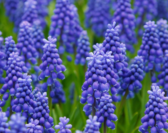 25 GRAPE HYACINTH Muscari Fragrant Blue Purple Ground Cover Flower Seeds