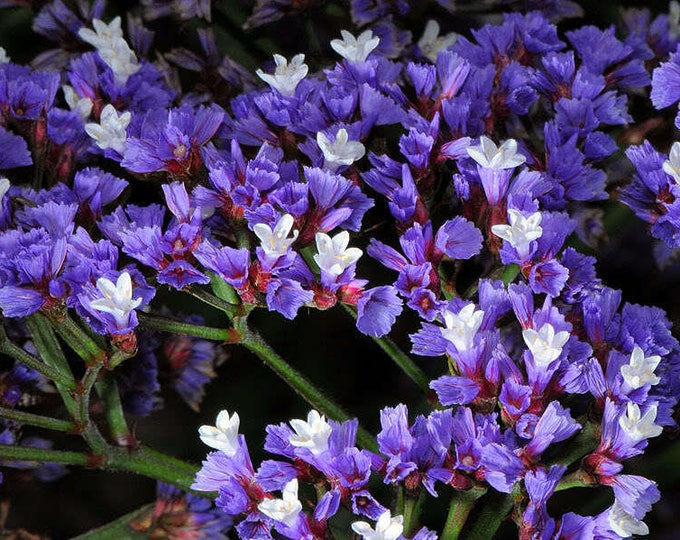 50 Purple STATICE / SEA LAVENDER Limonium Sinuatum Flower Seeds *Flat Shipping