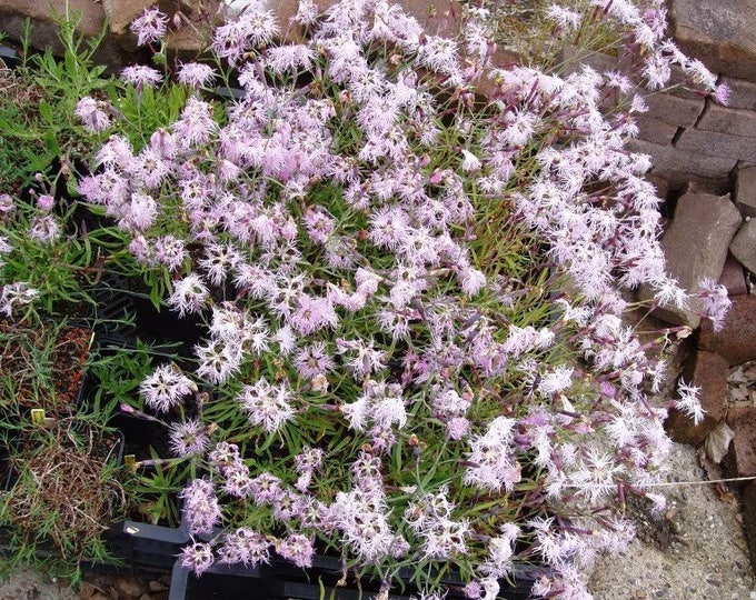 1000 FRINGED PINKS DIANTHUS Superbus Flower Seeds