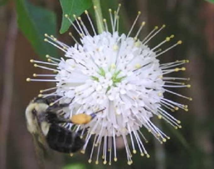 50 BUTTONBUSH / HONEYBALL Cephalanthus Occidentalis White Hummingbird Flower Bush Shrub Seeds