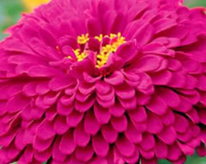 250 PURPLE PRINCE ZINNIA Elegans Flower Seeds