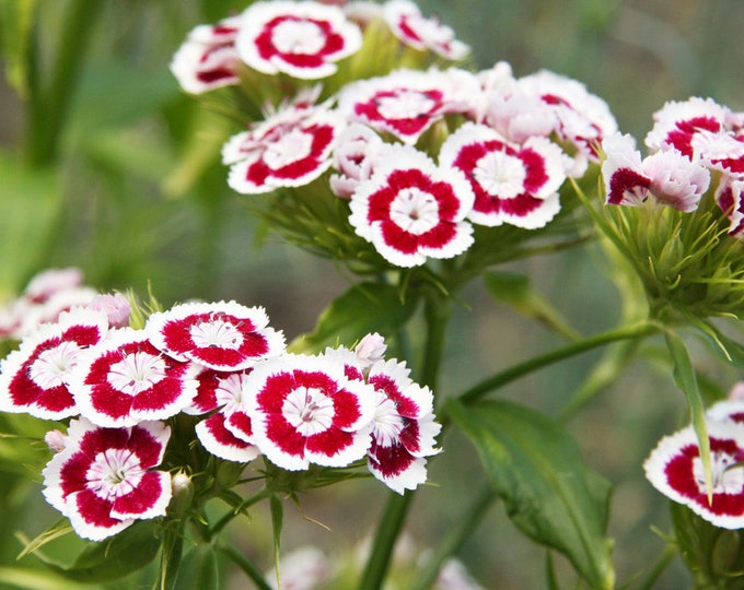 50 HOLBORN GLORY DIANTHUS Barbatus Red & White Sweet William Flower Seeds *Comb S/H
