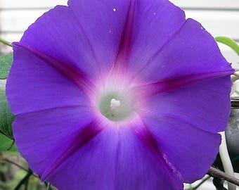 100 PURPLE MORNING GLORY Ipomoea Nil Flower Vine Seeds *Comb S/H