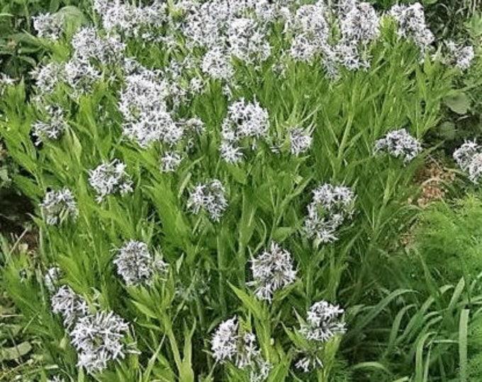10 SHINING BLUESTAR Ozark or Showy Blue Star Amsonia Illustris Flower Seeds